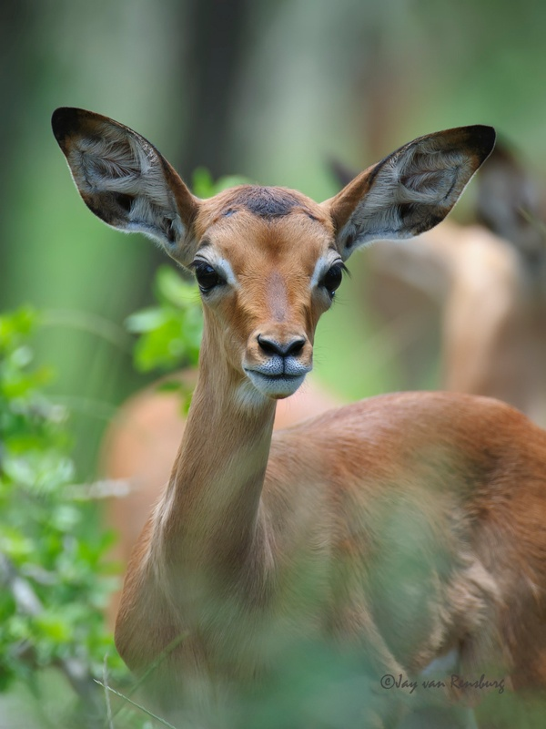 Youngster - Antelope