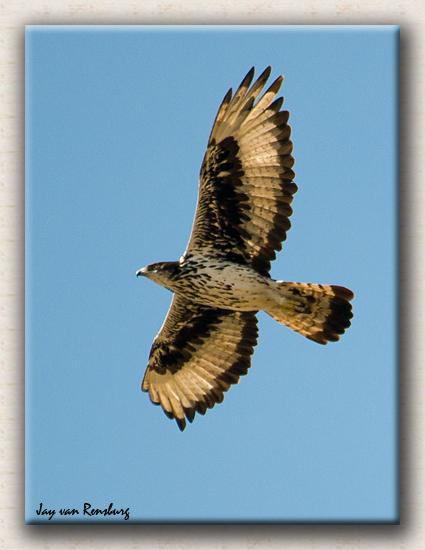 African Hawk Eagle - Birds in flight