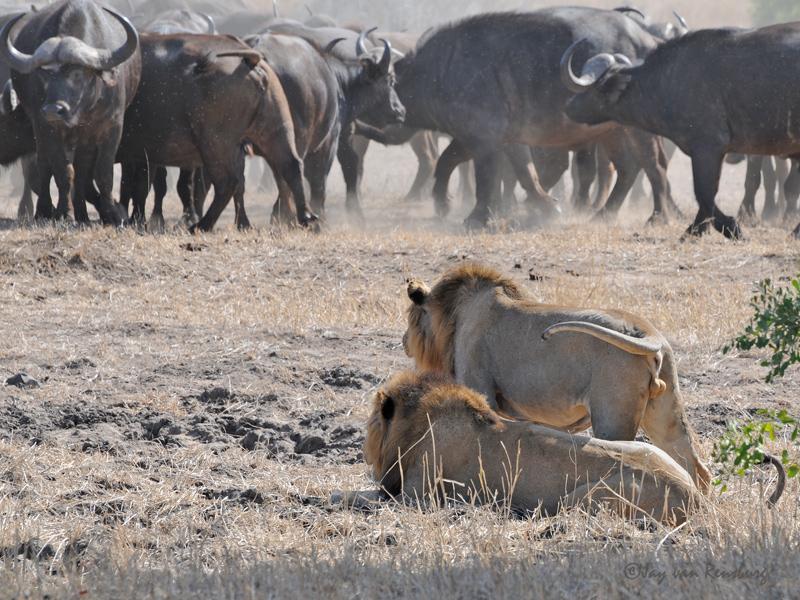 Two Lions vs Buffalo herd - Lion vs Buffalo