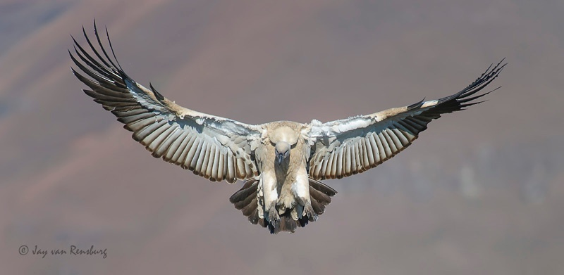 Cape Vulture landing 1 - Vultures