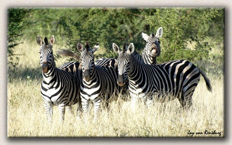 Zebras posing - Zebra & Giraffe