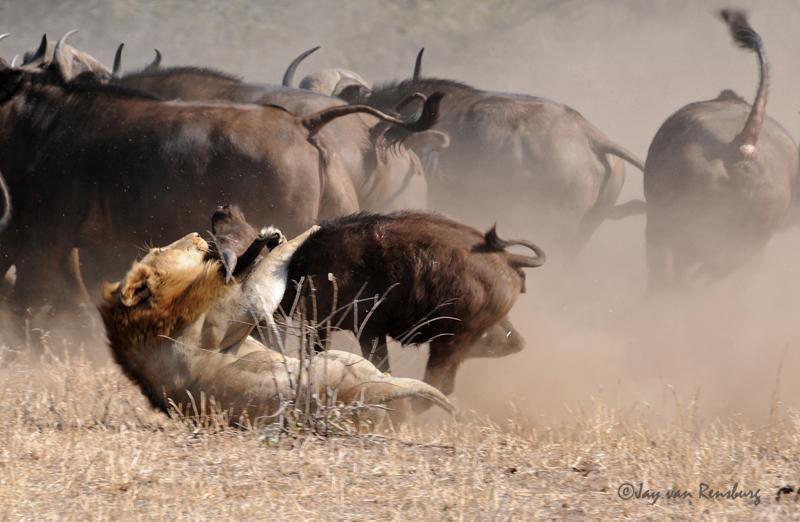 Lion bringing down Buffalo - Lion vs Buffalo