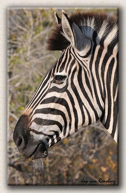 Zebra profile 2 - Zebra & Giraffe