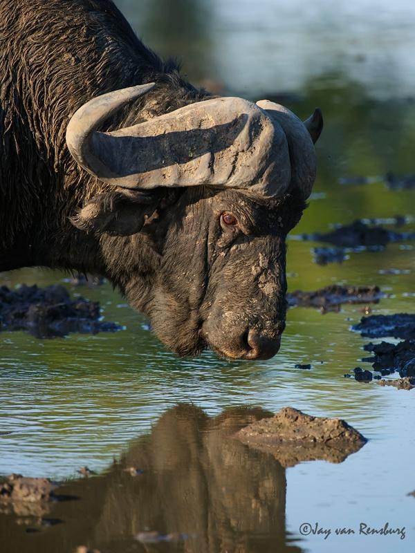 Buff reflection - Buffalo