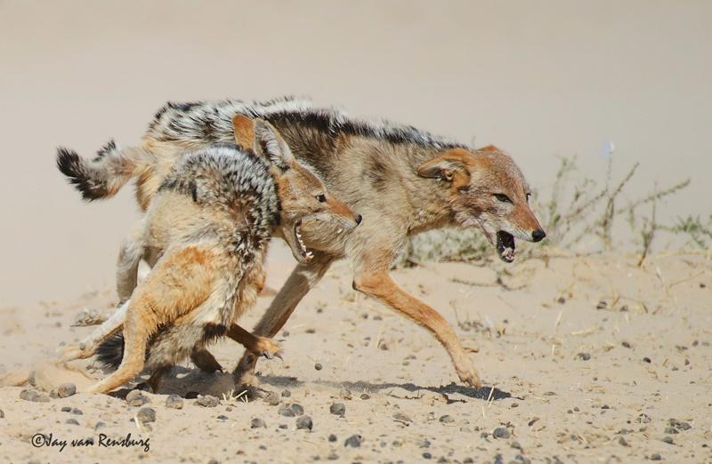 Duelling Jackal 2 - Carnivores