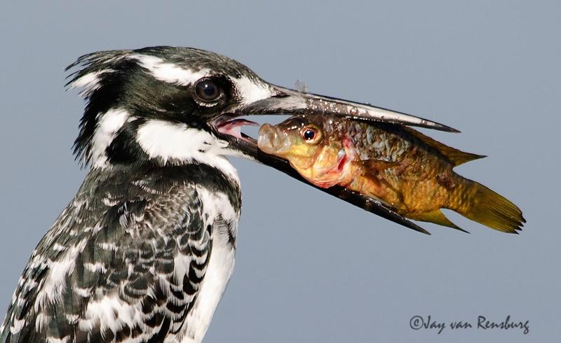 Eye to eye - Kingfishers