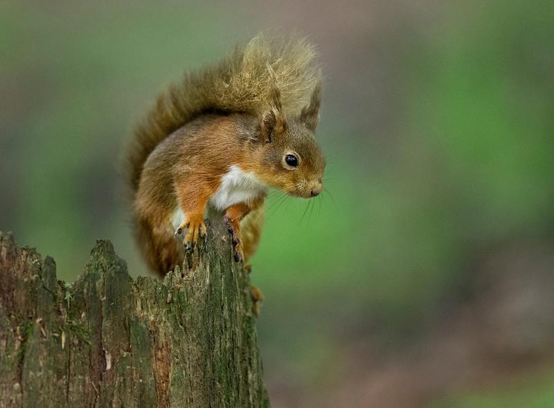 Red Squirrel - NATURE
