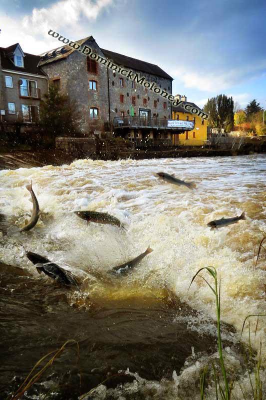 Salmon Annacotty weir 2 - Limerick