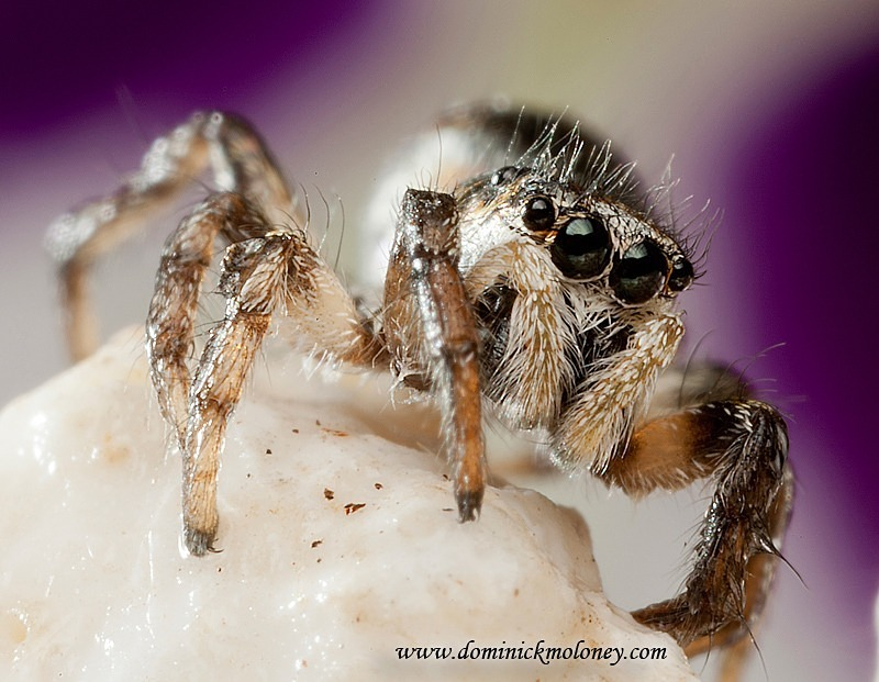w-crop-Jumping-spider-IMG_4963 - Jumping Spider