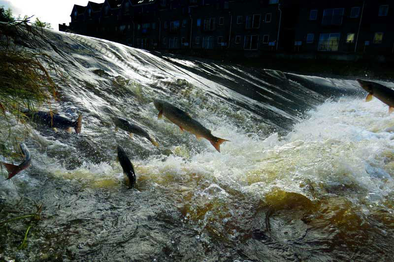 Salmon-Annacotty-weir - Limerick