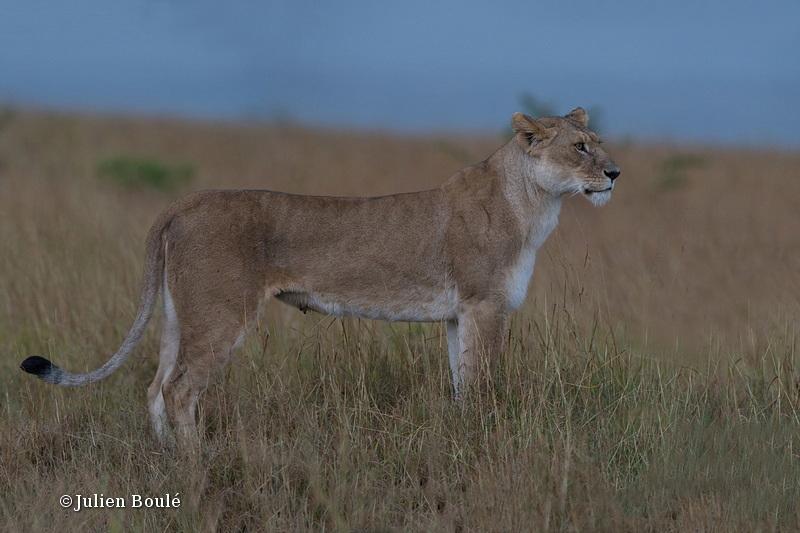 Lion Masai Mara 2013 05 - Lions