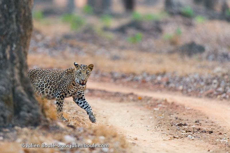 Leopard India 02 - Leopards
