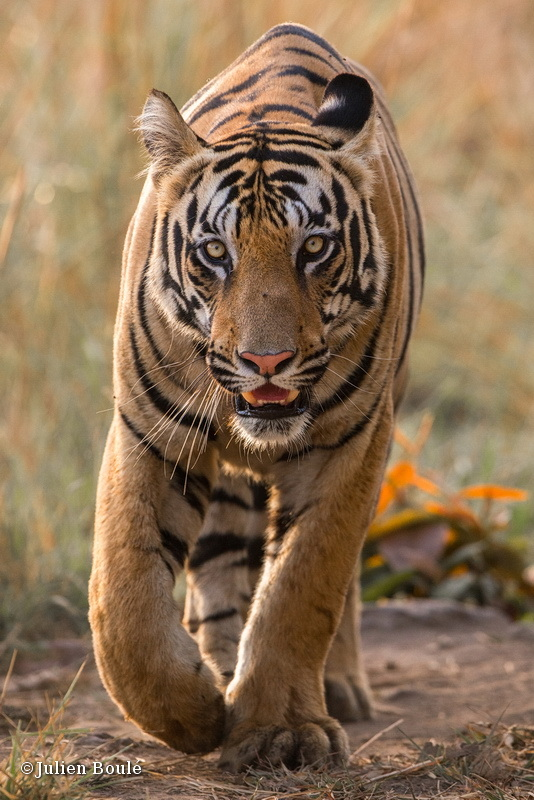 Young tiger male of Tadoba buffer zone #2 - Tigers - Tigres