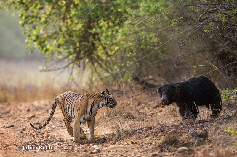Tiger and sloth bear encounter #2 - Tigers - Tigres