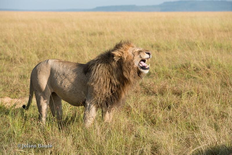 Lion Masai Mara 2013 14 flehmen response - Lions