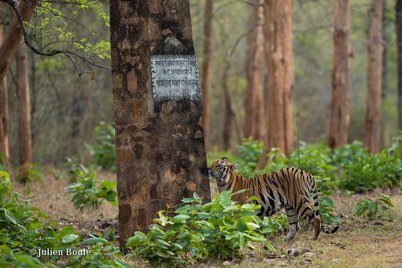 Tigress of Telia cubs #10 - Tigers - Tigres