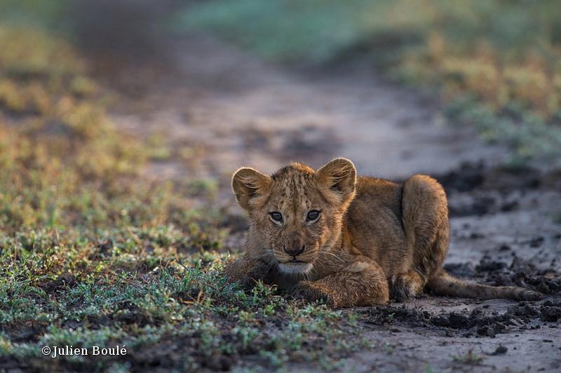 Lion Masai Mara 2013 16 cub - Lions