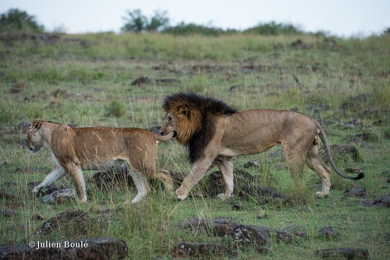 Lion Masai Mara 2013 10 mating - Lions