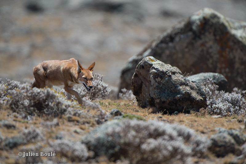 Ethiopian Wolf 12 Bale Mountains - Wolves - Loups