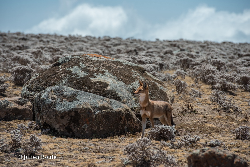 Ethiopian Wolf 13 Bale Mountains - Wolves - Loups