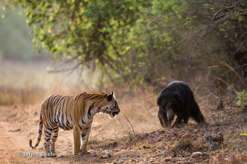 Tiger and sloth bear encounter #3 - Tigers - Tigres