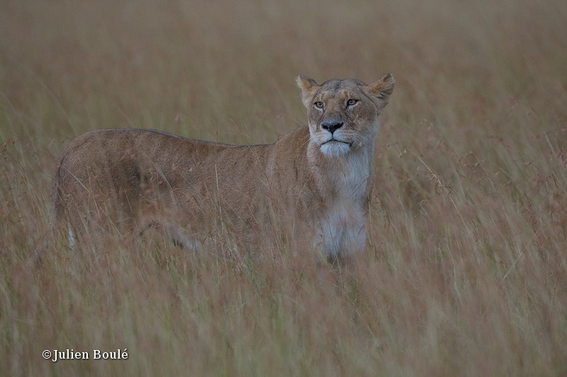Lion Masai Mara 2013 07 - Lions