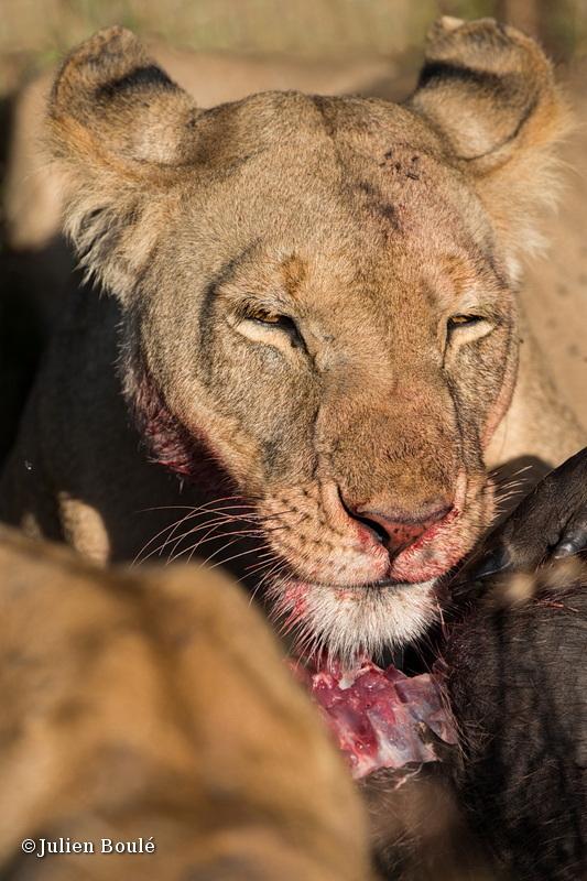 Lion Masai Mara 2013 21 on a wharthog kill - Lions