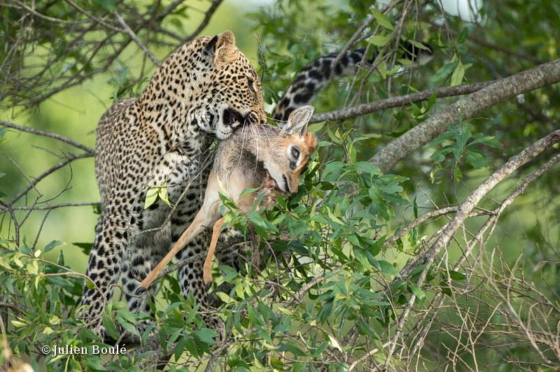 Leopard Masai Mara 2013 16  Bahati - Leopards