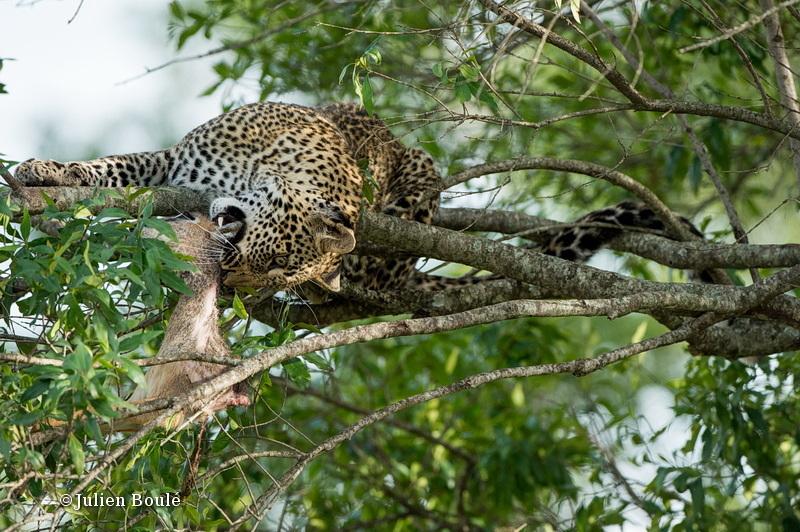 Leopard Masai Mara 2013 15  Bahati - Leopards