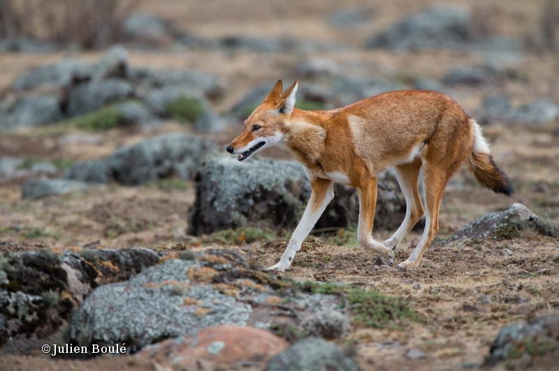 Ethiopian Wolf 19 Bale Mountains - Wolves - Loups