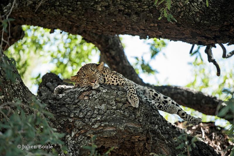 Leopard Okavango delta 06 - Leopards