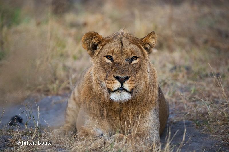 Lion of Savuti 2 - Lions