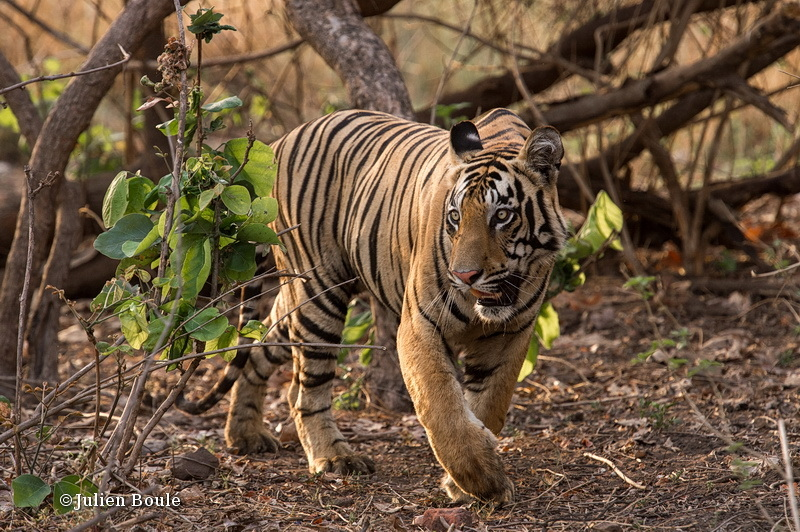 Young tiger male of Tadoba buffer zone #6 - Tigers - Tigres