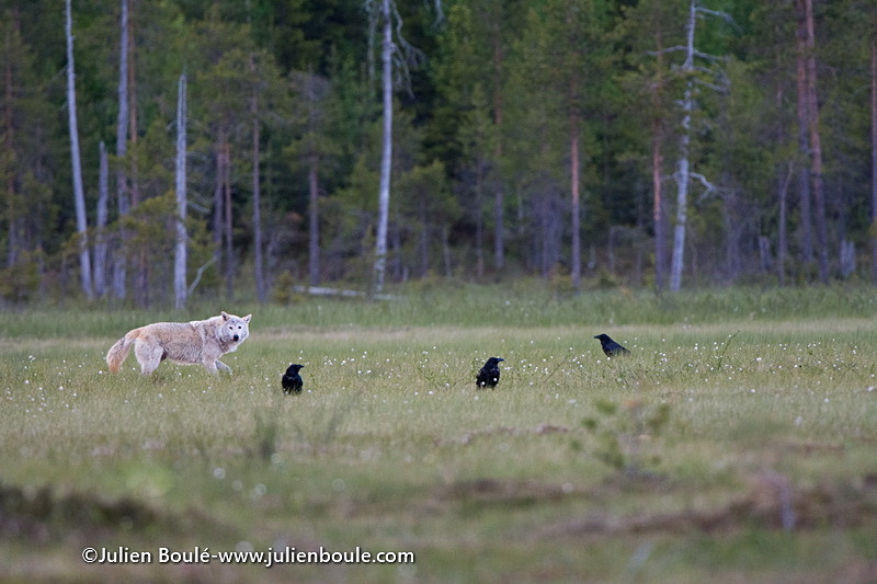gray wolf 08 Finland - Wolves - Loups