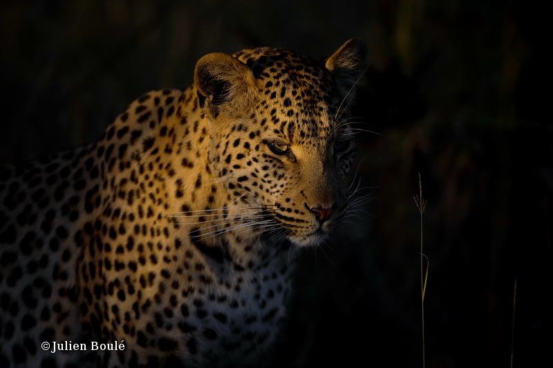 Leopard Nxabega 2 - Leopards