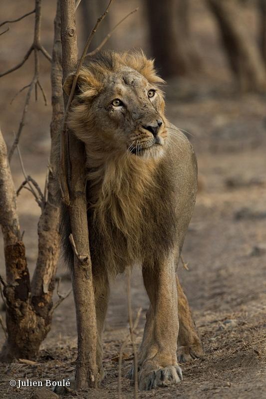 Asiatic lion Sasan Gir 01 - Lions