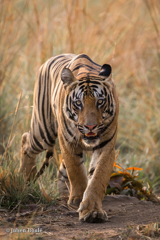 Young tiger male of Tadoba buffer zone #1 - Tigers - Tigres