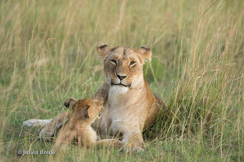 Lion Masai Mara 2013 19 - Lions