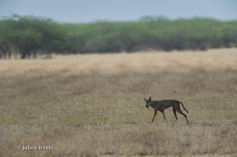 Indian Wolf 5 Velavadar - Wolves - Loups
