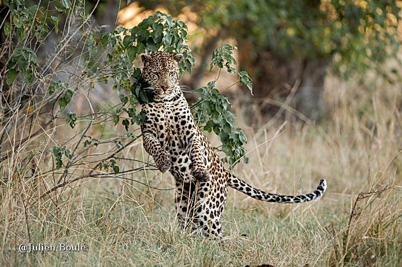 Leopard Okavango delta 09 - Leopards