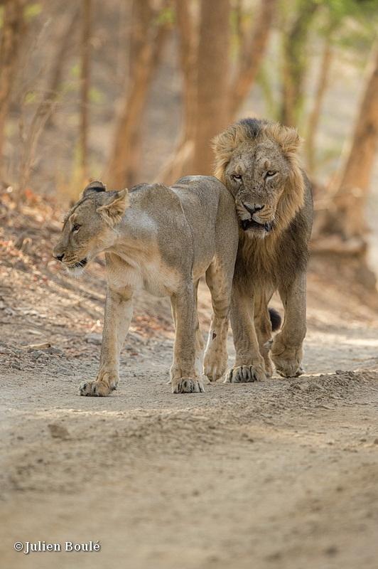 Asiatic lion Sasan Gir 04 - Lions