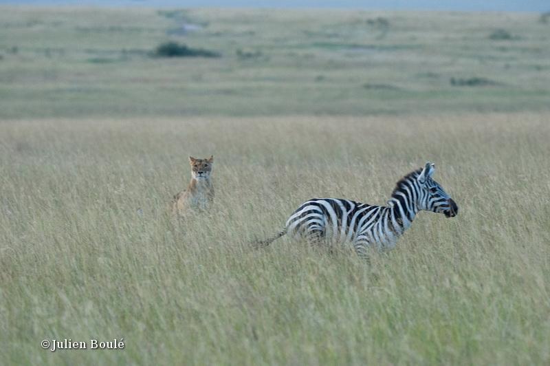 Lion Masai Mara 2013 20 hunting zebra - Lions