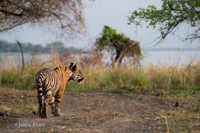 Young tiger male of Tadoba buffer zone #5 - Tigers - Tigres