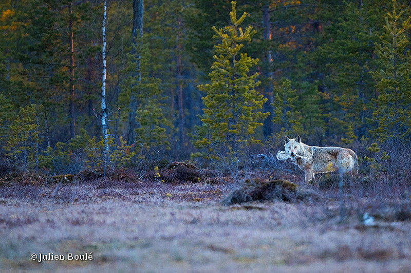gray wolf 06 Finland - Wolves - Loups
