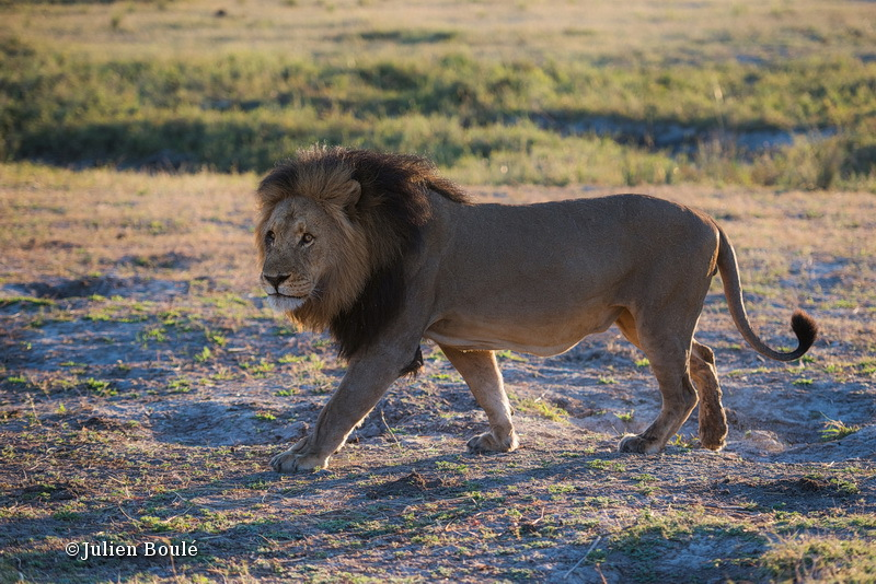 Male lion of Chobe - Lions