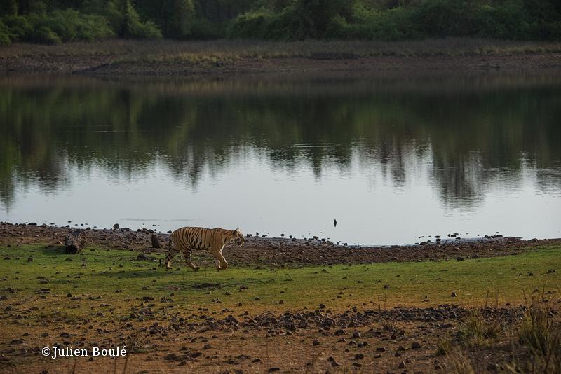 Tigress of Telia cubs #6 at Telia Lake - Tigers - Tigres