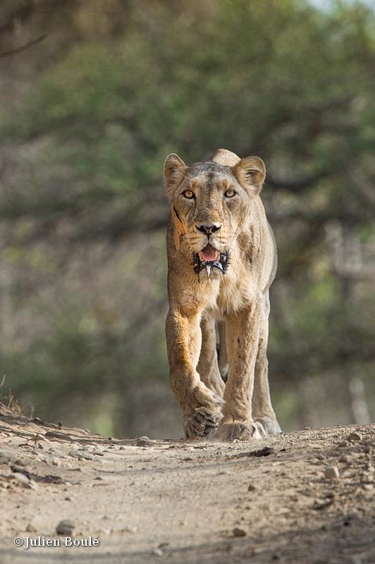 Asiatic lion Sasan Gir 05 - Lions