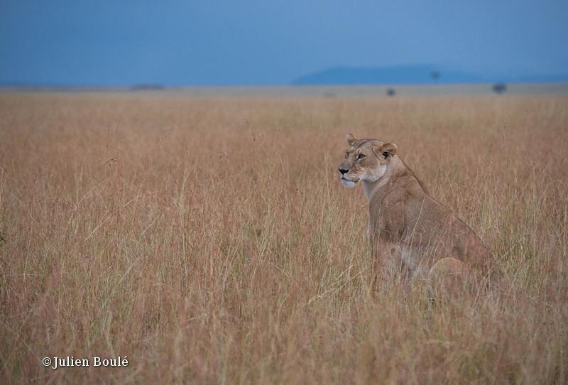 Lion Masai Mara 2013 08 - Lions