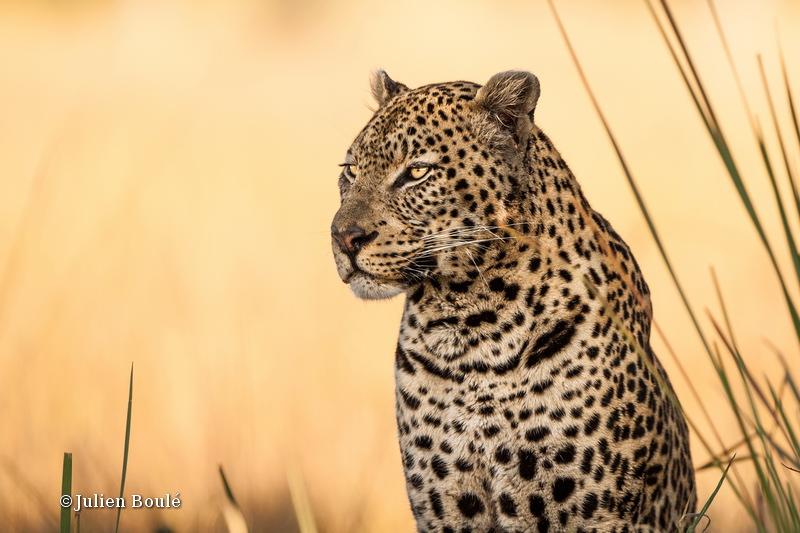 Leopard Okavango delta 16 - Leopards
