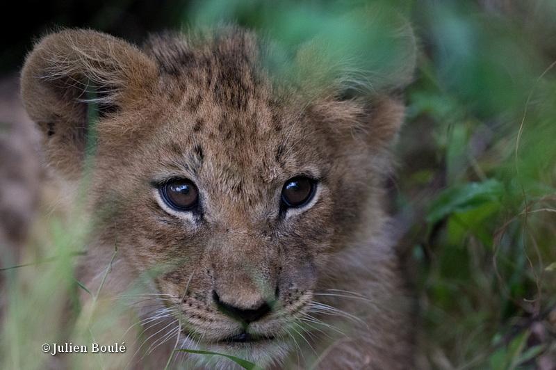 Lion Masai Mara 2013 04 cub - Lions